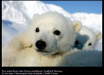 http://www.canon-europe.com/About_Us/Press_Centre/Image_Library/Sponsorship/WWF_Canon_polar_bear_tracker_programme_images.aspx