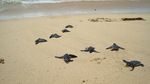 Live hatchlings discovered through nest excavation on Playa Larga, Isla Bastimentos, Panama.
