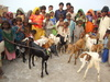 Shanbho kohli village families find female goats and happy